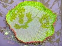 Wiktoria amazonica Zdjęcie Royalty Free