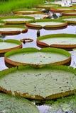 Wiktoria Amazonica lotosu liść Zdjęcia Stock