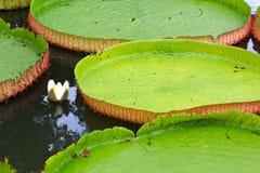 Wiktoria Amazonica lotosu liść Zdjęcie Royalty Free