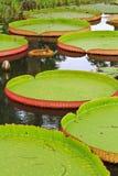 Wiktoria Amazonica lotosu liść Obraz Stock