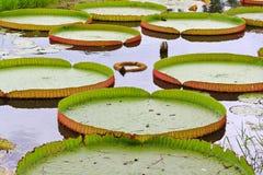 Wiktoria Amazonica lotosu liść Obraz Royalty Free