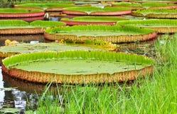 Wiktoria Amazonica lotosu liść zdjęcie stock