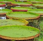 Wiktoria Amazonica lotosu liść fotografia royalty free
