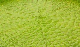 Wiktoria Amazonica lotosu liść Obrazy Royalty Free