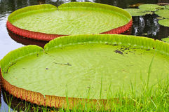 Wiktoria Amazonica lotosu liść Obrazy Stock