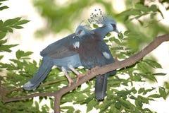 Wiktoria Koronował ptasiego Goura Victoria, głowa profil na drzewie Zdjęcia Royalty Free