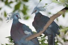 Wiktoria Koronował ptasiego Goura Victoria, głowa profil na drzewie Zdjęcie Royalty Free