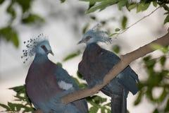 Wiktoria Koronował ptasiego Goura Victoria, głowa profil na drzewie Obraz Royalty Free