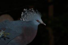 Wiktoria Koronował ptasiego Goura Victoria, głowa profil z ciemnym tłem Zdjęcie Stock