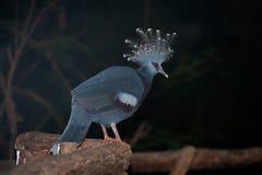 Wiktoria Koronował ptasiego Goura Victoria, głowa profil z ciemnym tłem Obraz Stock
