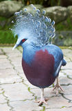 Wiktoria Koronowany gołąb (Goura Victoria) fotografia royalty free