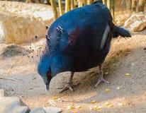 Wiktoria koronujący gołębi Goura Victoria jest przyglądający niektóre fotografia stock