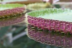 Wiktoria lotosu liść Obrazy Royalty Free