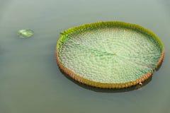 Wiktoria lotosu liść Fotografia Stock