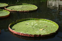 Wiktoria Regia - wielka wodna leluja w wor Fotografia Stock
