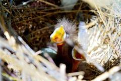 Wil baby kromme-Gefactureerde thrasher ` s wat voedsel! stock afbeelding