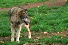 Wilcza fotografia (Canis lupus) zdjęcie stock