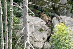 Wilcze ciucie w zoo zdjęcie royalty free