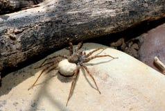 Wilczego pająka jajka worek obrazy royalty free