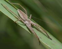Wilczego pająka obsiadanie obraz royalty free