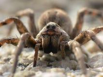 Wilczego pająka zbliżenie fotografia royalty free