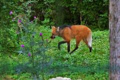 Wilczy łasowanie w zoo w Augsburskim w Germany zdjęcia royalty free