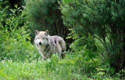 wilczy drewna zdjęcie stock