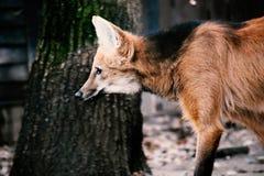 Wilczy Dziki pies Chryoscyon Brachyurus obraz stock