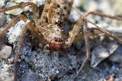 Wilczy pająk zdjęcie stock