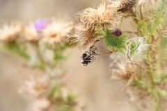 Wilczy pająk je mamroczącej pszczoły zdjęcie royalty free