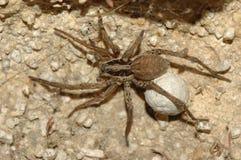 Wilczy pająk (Lycosa tarantula) zdjęcie stock