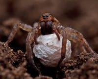 Wilczy pająk, Lycosidae Trochosa sp obrazy stock