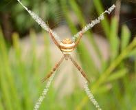 Wilczy pająk na liściu Obraz Royalty Free