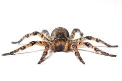 Wilczy pająk nad bielem fotografia royalty free