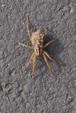 Wilczy pająk niesie jej potomstwa na ona z powrotem fotografia stock