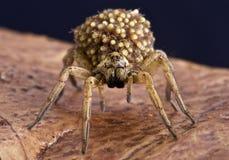 Wilczy pająk z dziećmi Zdjęcia Stock