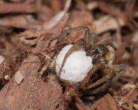 Wilczy pająk z jajko workiem zdjęcia stock