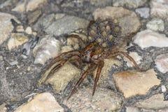 Wilczy pająk z wiele małymi pająkami na swój plecy fotografia stock