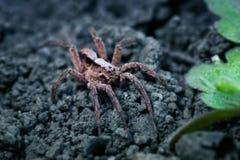 Wilczy pająk Fotografia Stock