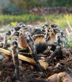 Wilczy pająk Zdjęcia Royalty Free