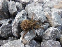 Wilczy pająk Obrazy Stock
