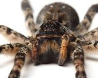 Wilczy pająk nad bielem. makro- obrazy royalty free