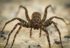 Wilczy pająk Zdjęcie Royalty Free
