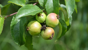 Wild äpplen Arkivfoto