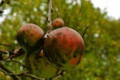 Wild äpplen royaltyfria foton