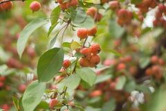 Wild äpplen Gåvorna av hösten Royaltyfri Fotografi