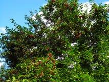 wild äppletree Fotografering för Bildbyråer