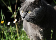 Into the wild. Chartreux cat exploring the garden Stock Photography