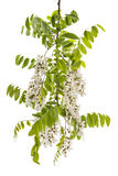 Wild acacia. Blossoming wild acacia with leafs isolated on white, acacia branch with flowers Royalty Free Stock Photo