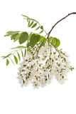 Wild acacia. Blossoming wild acacia with leafs isolated on white, acacia branch with flowers Royalty Free Stock Photography